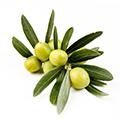 Extracto de fruta de oliva